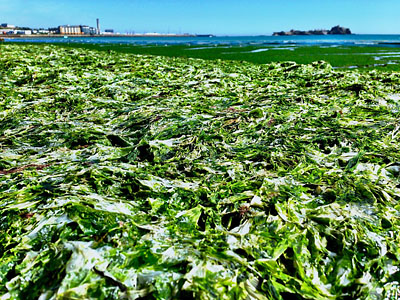 Sea Lettuce pictured by Lee Fernandes in St. Aubin's Bay on 23 July, 2014