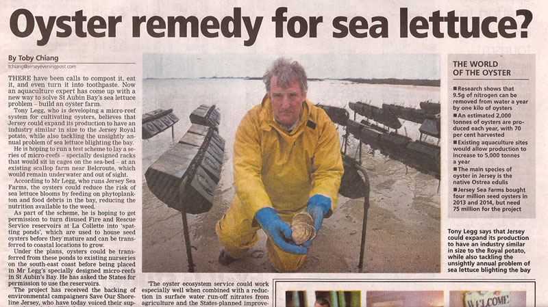 Potential solution to Jersey's sea lettuce problem, using native Jersey oysters