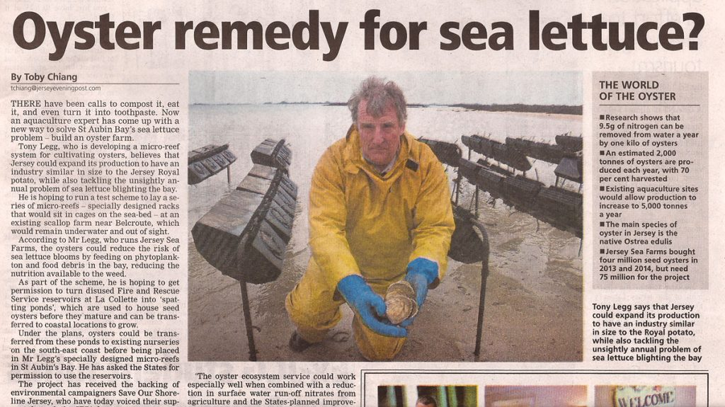 JEP report on using Jersey native oysters to help combat the sea lettuce problem in Jersey