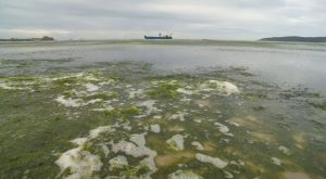 Sea lettuce in St Aubins Bay Jersey and Normandy Trader - 17 August 2017 - Paul Lakeman