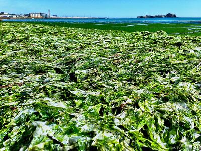 Sea Lettuce pictured by Lee Fernandes in St. Aubin's Bay on 23 July, 2014