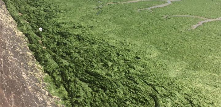 Sea lettuce problem in Jersey - SOS Jersey